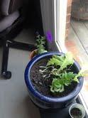 celery grown inside